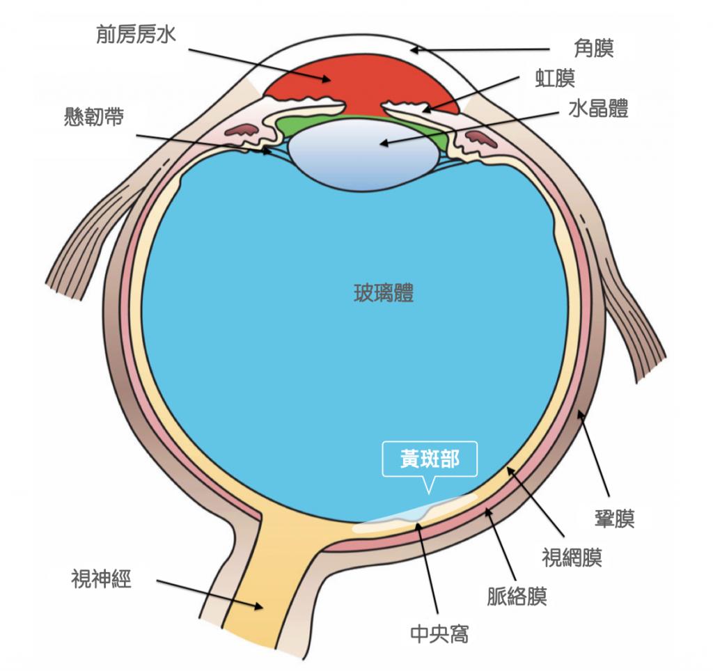 葉黃素-玉米黃素-眼睛結構