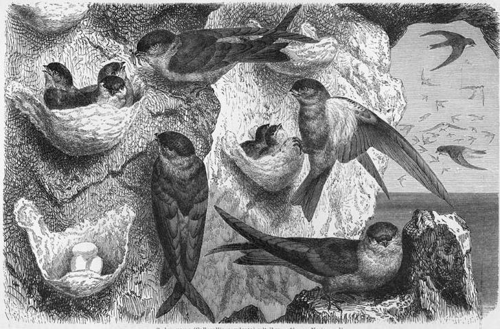 金絲燕-燕窩