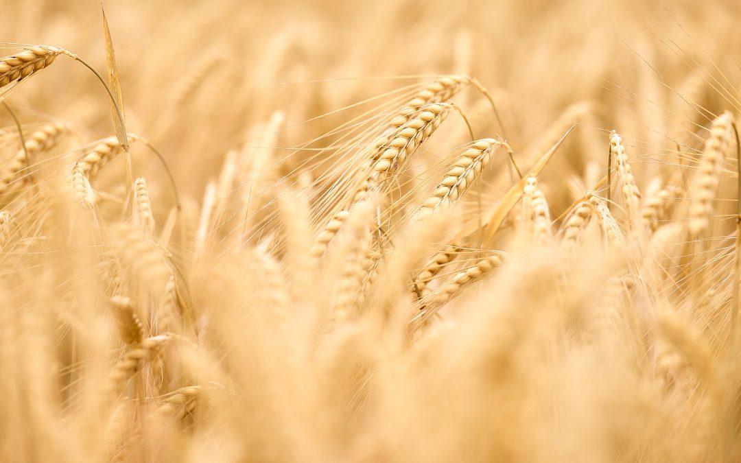 部分白米替換成大麥的大麥飯 幫助減少內臟脂肪