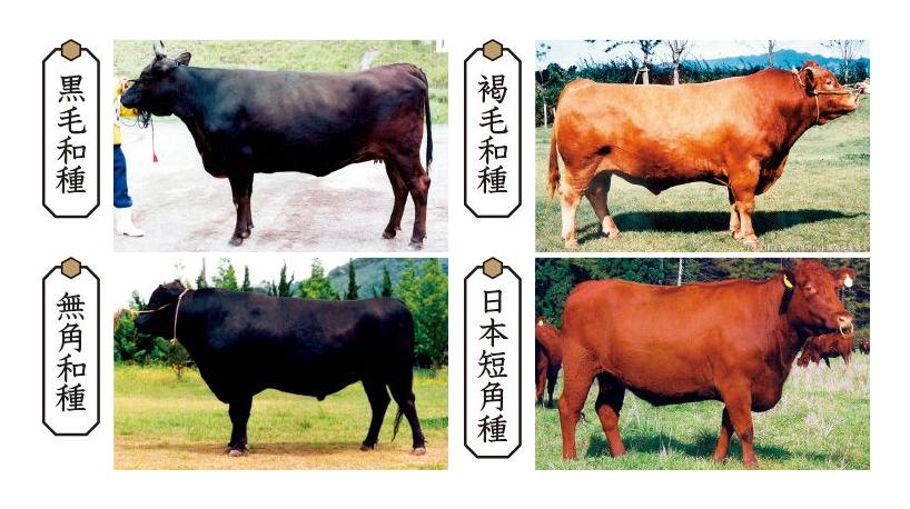 日本和牛-4種基本品種-黑毛和種-褐色和種-無角和種-日本短角和種