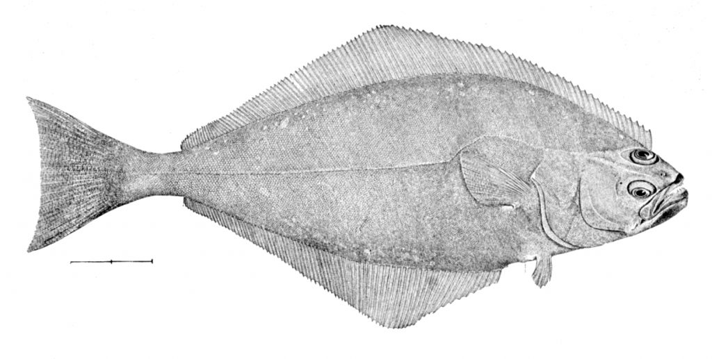 大比目魚-鰈-亞洲油碟-婆鰈